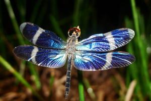 libellule bleue