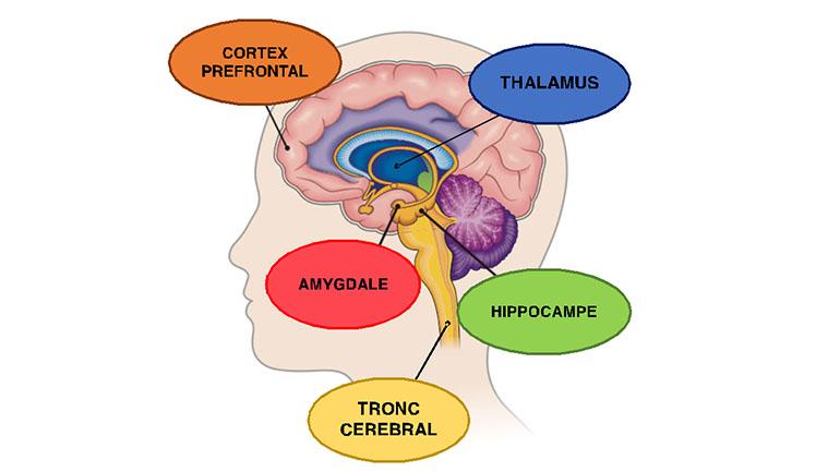 fonctions en actions dans le le cerveau lors d'un trauma